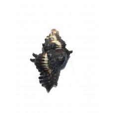Ganesh Shankh Black (Rare)